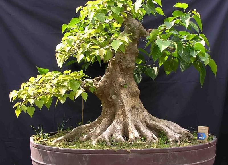cây-bồ-đề