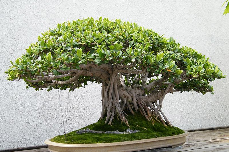 cây-linh-sam-phong-thủy